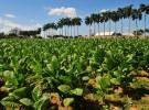 Economie : British american tobacco va racheter le reste de sa filiale brésilienne