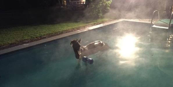 Kockelscheuer un cheval tombe dans la piscine for Bettembourg piscine