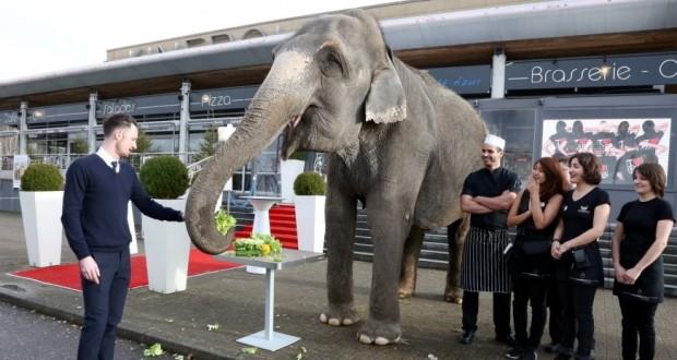Vana Mana, 43 ans, a déjeuné lundi devant les Moulins Bleus à Saint-Julien-lès-Metz. « 43 ans, ce n'est pas vieux : les éléphants d'Asie ont une espérance de vie de 70 ans. Cet animal est dans la fleur de l'âge », défend le Cirque Bouglione. (Photo : RL)
