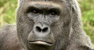 Une photo non datée du gorille Harambe du zoo de Cincinnati aux Etats-Unis distribuée par le zoo le 30 mai 2016. (Photo : AFP)