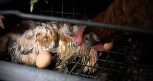 Les images montrent des poules déplumées, une prolifération de poux, d'asticots, des cadavres de volailles en état de décomposition avancée gisant dans des cages, des accumulations de fiente. (Photo AFP)