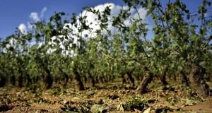 Entre vendredi et dimanche des milliers d'hectares ont été affectés, voire hachés par les grêlons. (illustration AFP)