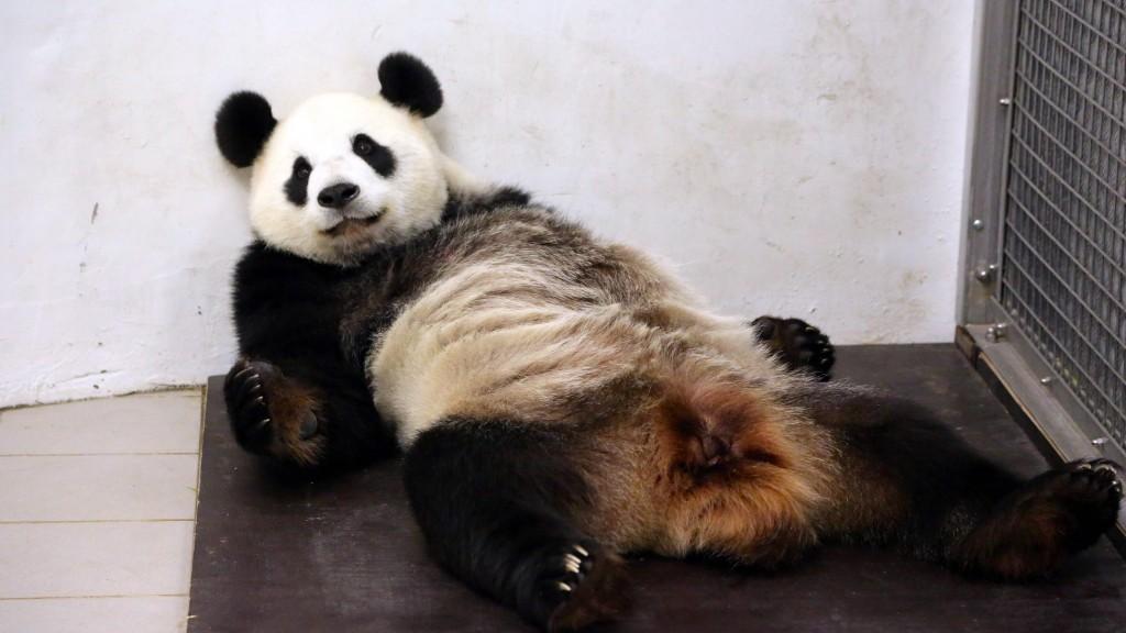 premi re naissance d 39 un b b panda g ant en belgique. Black Bedroom Furniture Sets. Home Design Ideas