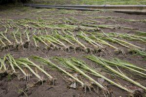 Les intempéries du vendredi 22 juillet ont causé de gros dégâts dans les exploitations agricoles. (photo JC Ernst)