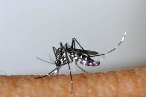 Zika, un virus transmis par le moustique Aedes aegypti, entraîne des malformations dévastatrices dont la microcéphalie, de même qu'un développement insuffisant du cerveau. (photo AFP)