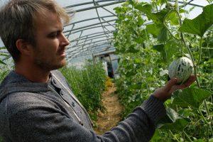 Pit, le maraîcher, en train de regarder un melon de Lunéville, une nouveauté plantée cette année dans ses serres. Photos : Romain Van Dyck