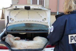 Le veau a été chargé dans le coffre. Ils l'ont vidé de ses organes. (Photo : RL)
