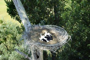 Ces deux petits cigogneaux étaient nés en 2013. Cette année, il n'y a pas eu tant de soleil sur le nid... (photo archives LQ)