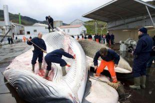 Les principaux opposants à la proposition ont été les pays chasseurs de baleines --Japon, Norvège, Islande --, qui ont obtenu le soutien d'un certain nombre de pays d'Afrique, d'Asie et de petites îles. (photo archives AFP)