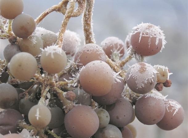 """Résultat de recherche d'images pour """"raisin givré"""""""""""