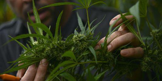 L'Allemagne légalise le cannabis à usage thérapeutique