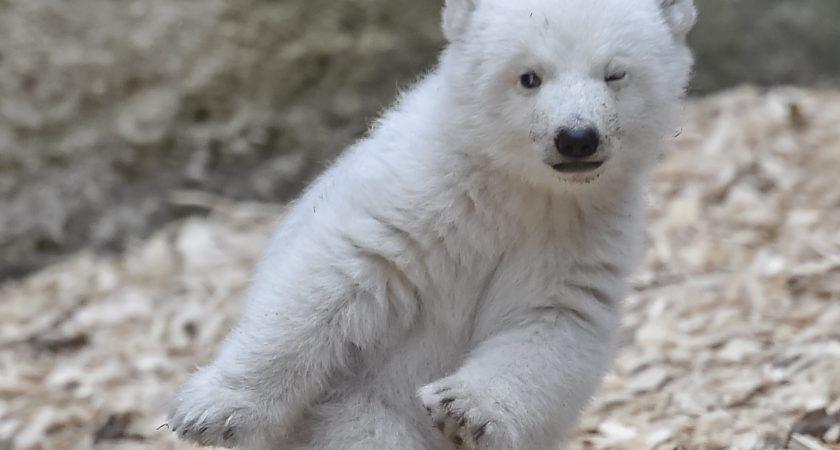 Ce b b ours polaire d couvre le monde ext rieur pour la for Le monde exterieur