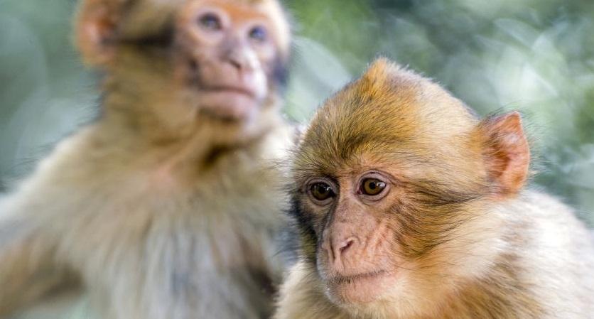 150 macaques porteurs d'un herpès mortel pour l'homme abattus — Landes