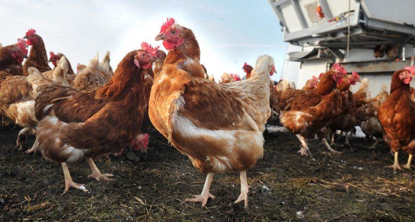 Un quatrième foyer de grippe aviaire au Luxembourg — Rollingen/Mersch