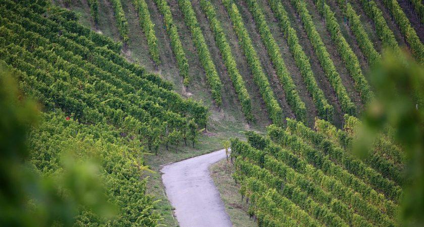 Si, effectivement, les trois groupements de vignerons s'entendent, ce serait une grande première. (photo archives LQ)