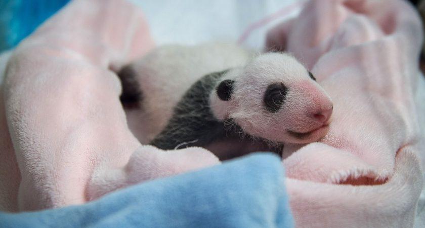 le b b panda du zoo de beauval a un mois et p se plus d 39 un kilo. Black Bedroom Furniture Sets. Home Design Ideas