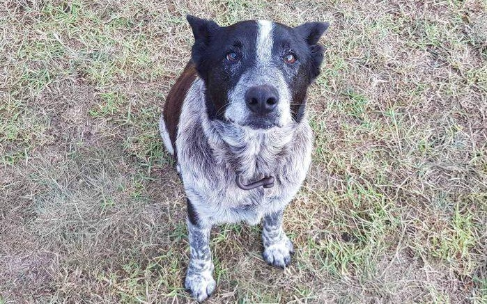 Max, le chien qui a secouru une fillette disparue — Australie