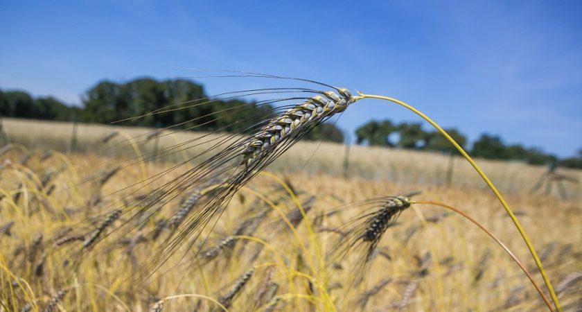 Semences paysannes : un patrimoine qui se meurt